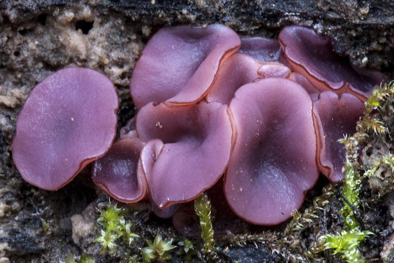 apollo bay, fungus, fungi, survey