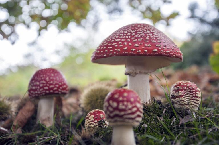 Woodend, Ard Choille, fungi, fungus, Amanita muscria, fly agaric