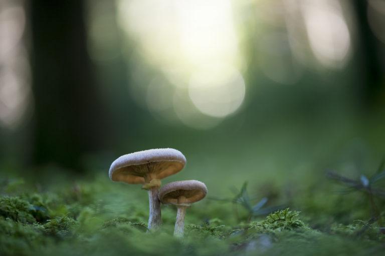 anzac, champignon, fungus, fungi, conservation, biodiversity
