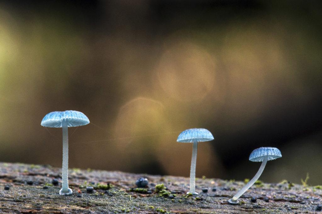 ruby bonnet, pixies parasol, fungus, fungi, Shellharbour