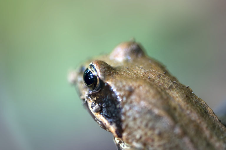 Wombat Forestcare, wilderness, frog, amphibian